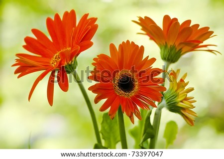 Red gerbera flower against green natural background - stock photo