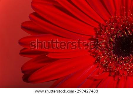 Red Gerbera flower blossom. - stock photo