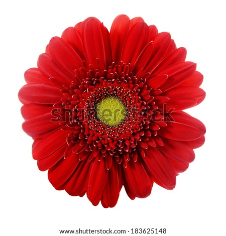 Red gerbera flower closeup. Isolated on white background - stock photo