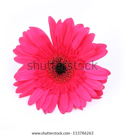 red gerbera flower isolated on white background