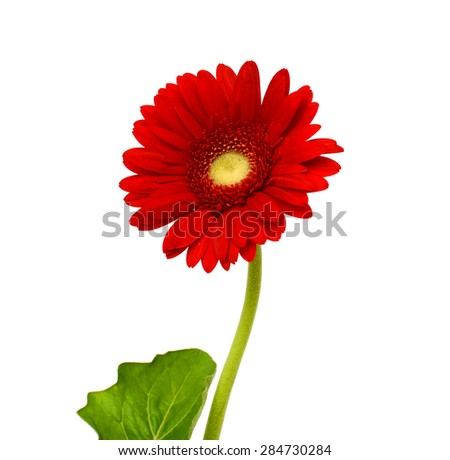 Red gerbera flower, Isolated on white background - stock photo