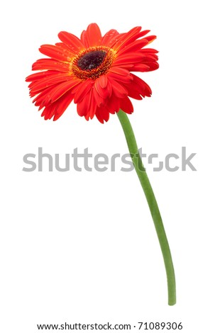 Red gerbera flower. Isolated on white background