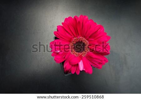 Red Gerbera flower on black background - stock photo