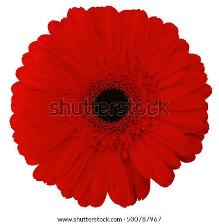 red gerbera flower, white isolated background with clipping path. Nature. Closeup no shadows.