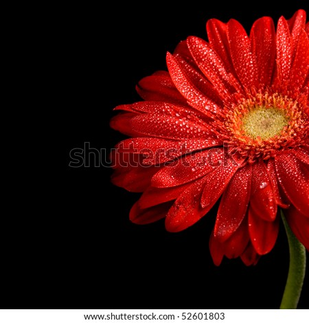 red gerbera flower with water drops on black background - stock photo