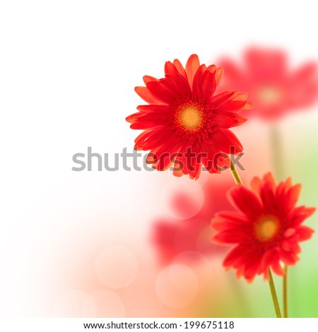 Red gerbera flowers  isolated on white background - stock photo