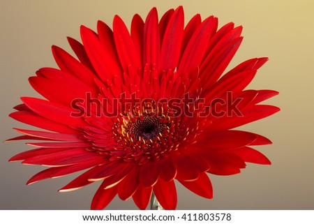 Red gerbera isolated on natural background. Close up - stock photo