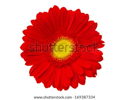 red gerbera isolated on white background