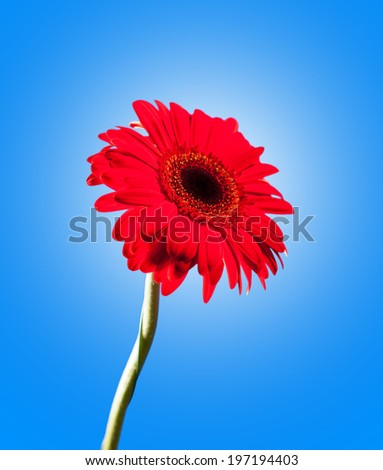 Red gerbera on a blue background. One flower.
