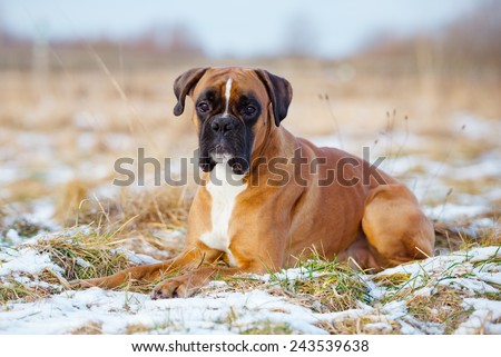 red german boxer dog lying down - stock photo