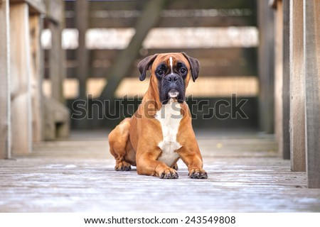 red german boxer dog outdoors - stock photo