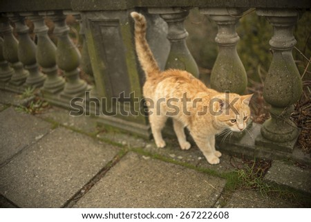red ginger cat walk along old retro vintage, aged stone wall in classic style Empty space for inscription Alone pet looking for female pussycat Urine marks territory with a raised tail - stock photo