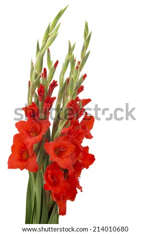 red gladiolus flowers on white background - stock photo