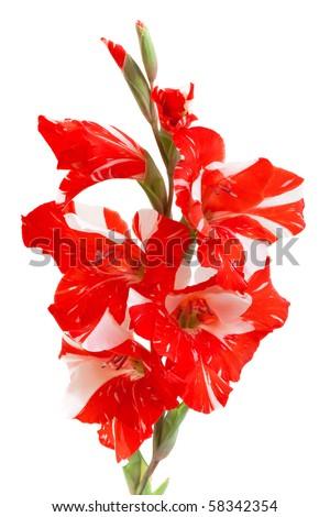 red gladiolus isolated on white - stock photo