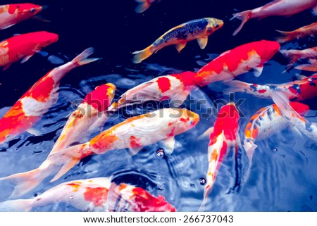 Fish pond stock images royalty free images vectors for Red and white koi fish