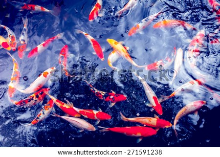 Red gold and white koi fish in a pond - stock photo
