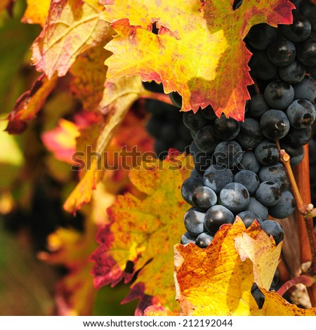 Red grape - stock photo