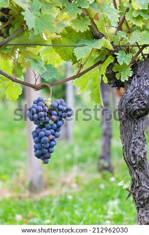 Red grape fruit - stock photo