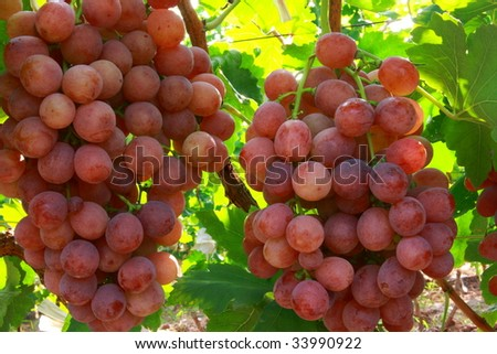 Red grape plantations