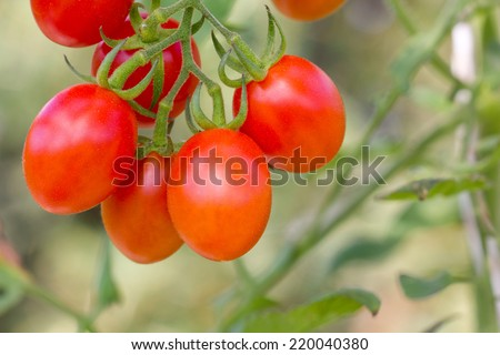 red Grape tomatoes/tomatoes/vegetables - stock photo