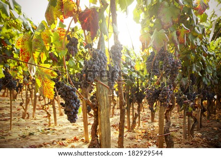 red grape vineyard in sunset, agriculture and wine