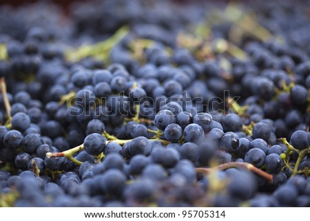 Red grapes during harvest - stock photo