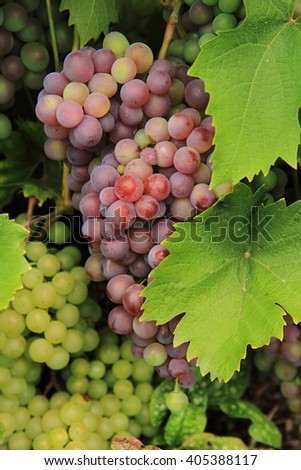 red grapes from the farm as nice background