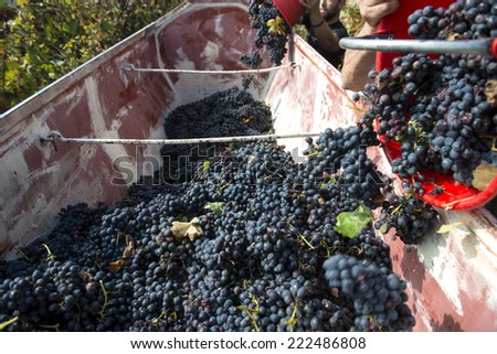 red grapes harvest - stock photo