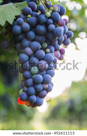 Red grapes in a Italian vineyard - Chianti, Tuscany, Italy. Selective focus.