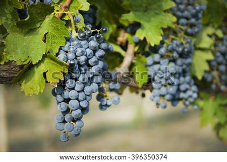 Red grapes in the vineyard