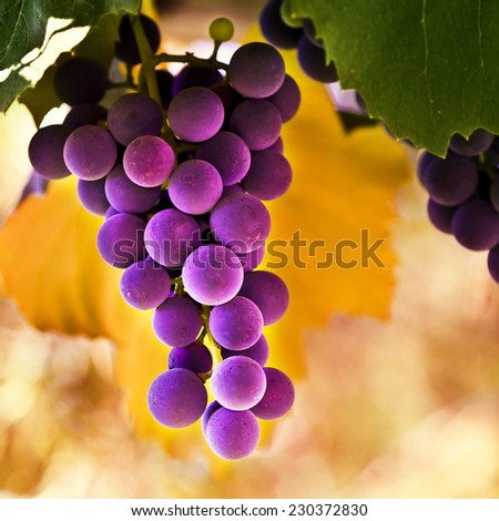 Red grapes in the vineyard with bokeh - stock photo