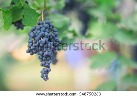 Red grapes on the trees and leaves, natural background