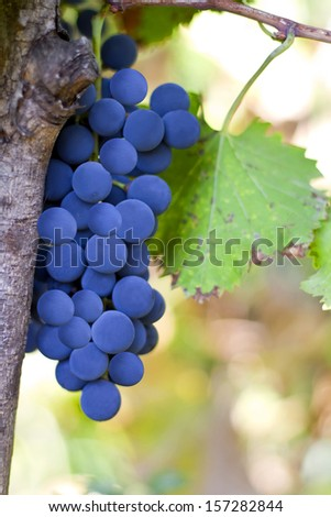 Red Grapes on the Vine - stock photo