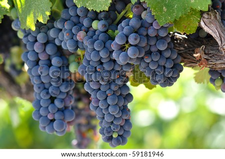 Red Grapes on the Vine in Napa Valley Close Up Macro ready to be made into Wine - stock photo