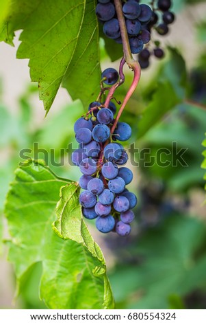 red grapes on vine stock at wine yard