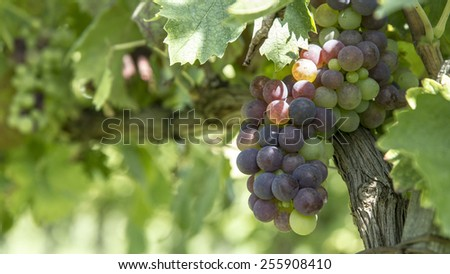 Red grapes photographed in an Italian vineyard. - stock photo