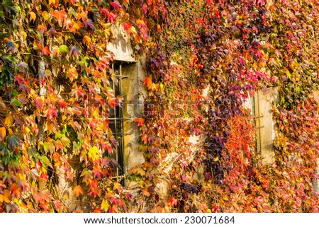 Red, green and orange leaves of a Japanese Creeper or parthenocissus tricuspidata veitchii  in autumn framing and surrounding an old grunge window in a tipical farmer house in Italian countryside