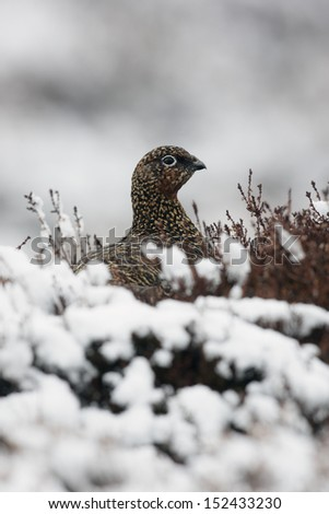 Red grouse, Lagopus lagopus scoticus, female, winter, Scotland       - stock photo