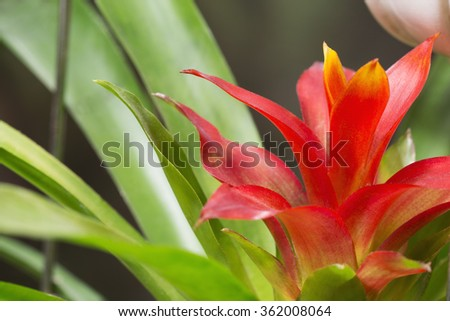 Red guzmania flower (Bromeliaceae) in the flowerpot - stock photo