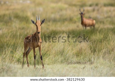 Red Haartebeest standing in Etosha National Park in Namibia - stock photo