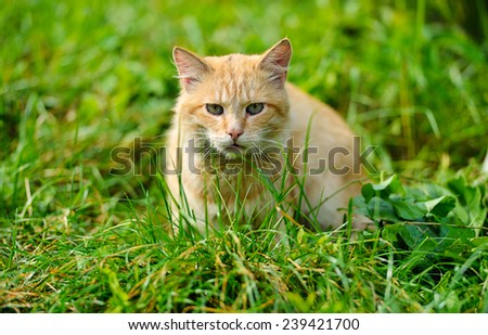 red-haired cat - stock photo