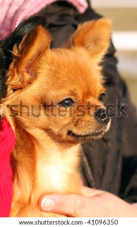 red-haired chihuahua