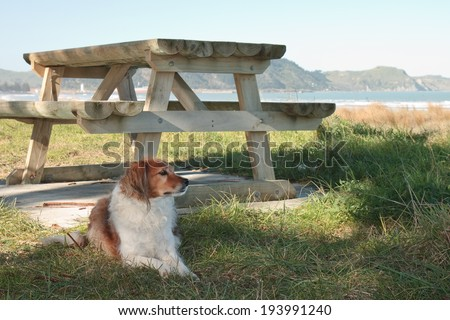 red haired collie dog sitting near a beach side picnic table  - stock photo