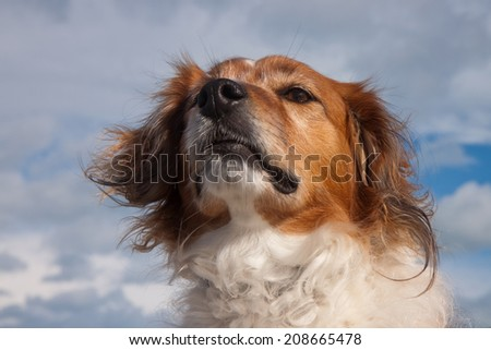red haired collie type dog at a surf beach in the southern hemisphere, New Zealand