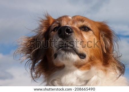 red haired collie type dog at a surf beach in the southern hemisphere, New Zealand  - stock photo