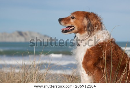 red haired collie type dog sitting grinning and showing its teeth in sand dunes at Gisborne beach, New Zealand  - stock photo