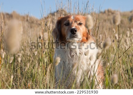 red haired collie type farm dog sitting among bunnies tails grass on a sand hill at a New Zealand beach  - stock photo