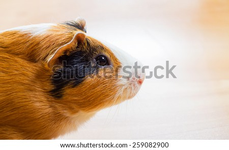 Red-haired Guinea pig closeup - stock photo