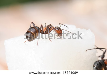 Red-haired wood ant and sugar piece. Macro
