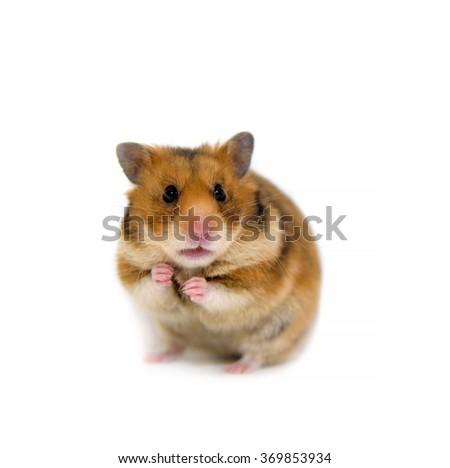 Red hamster isolated onoooooo white background - stock photo
